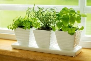 Windowsill Garden - Herbs