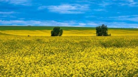 Biofuel canola field